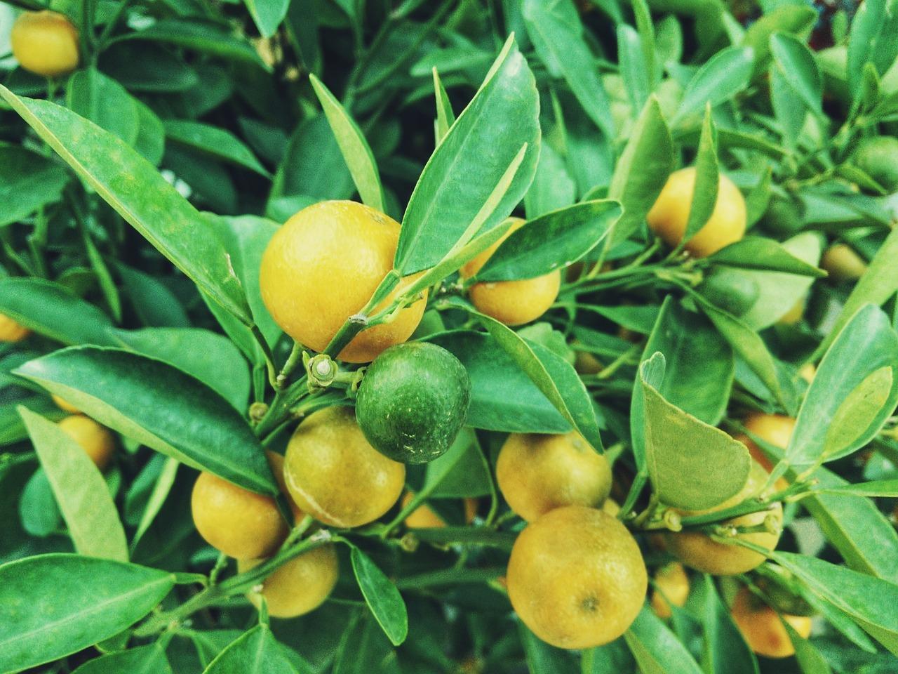 plantação de limão
